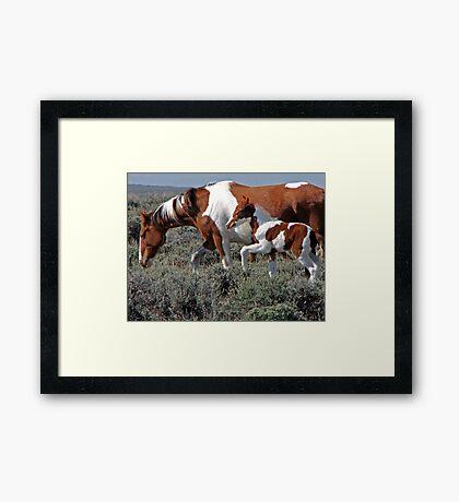 Wild Pinto Foal, Red Desert, Wyoming Framed Print