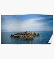 Sea Lions - Valdes Peninsula - Argentina Poster