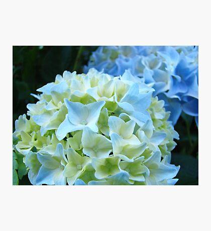 Beautiful Blue White Hydrangea Flower art prints Baslee Troutman Photographic Print