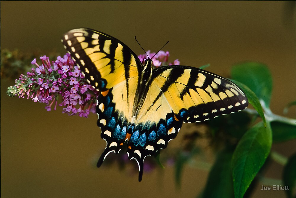 Tiger Swallowtail by Joe Elliott