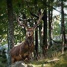 Red Deer by Michael Cummings