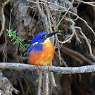 """"""" Azure Kingfisher II  """" by helmutk"""