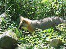 Fox Trot by Chelsea Kerwath