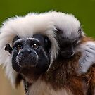 Cotton-Headed Tamarin by HelenBeresford
