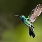 Green Violetear by Raymond J Barlow