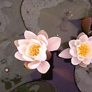 White Water Lilies by Hucksty