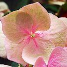 Hydrangea by Lozzar Flowers & Art