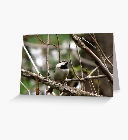Mountain Chickadee ~  Deschutes National Forest ~ Bend, Oregon  Greeting Card