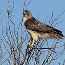 Red-Tailed Hawk ~ Grasping for branches........ by Kimberly Chadwick