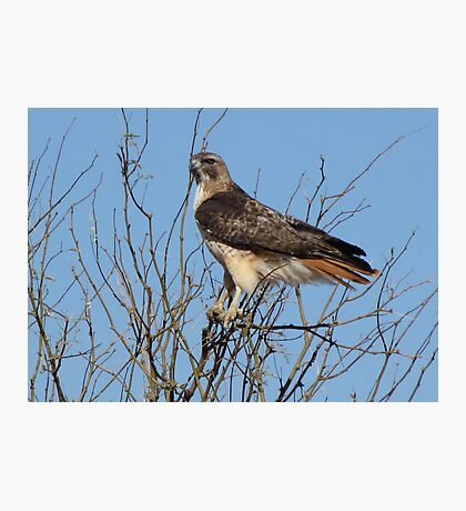 Red-Tailed Hawk ~ Grasping for branches........ Photographic Print