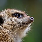 Portrait of a Meerkat.... by Tracie Louise