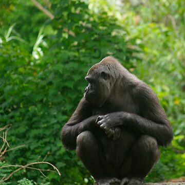 Gorilla distracted by blennus
