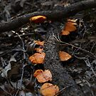 bracket fungus @  KENTLYN NSW  by briangardphoto