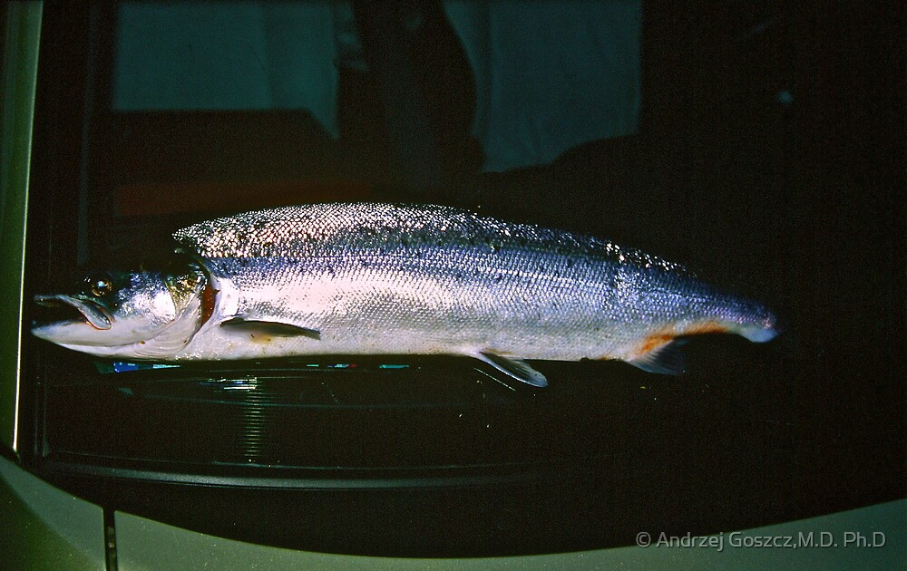 My first Atlantic Salmon with flash by night on Toyota (front window). Brown Sugar. Tight lines !!! Views (193) Thank you friends !!! by © Andrzej Goszcz,M.D. Ph.D