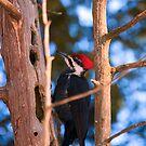 Pileated Woodpecker - Ottawa, Ontario by Josef Pittner