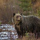 Grizzly Bear - The Kootenay by James Anderson