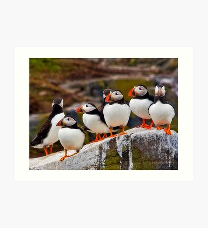 A Circus of Puffins Art Print
