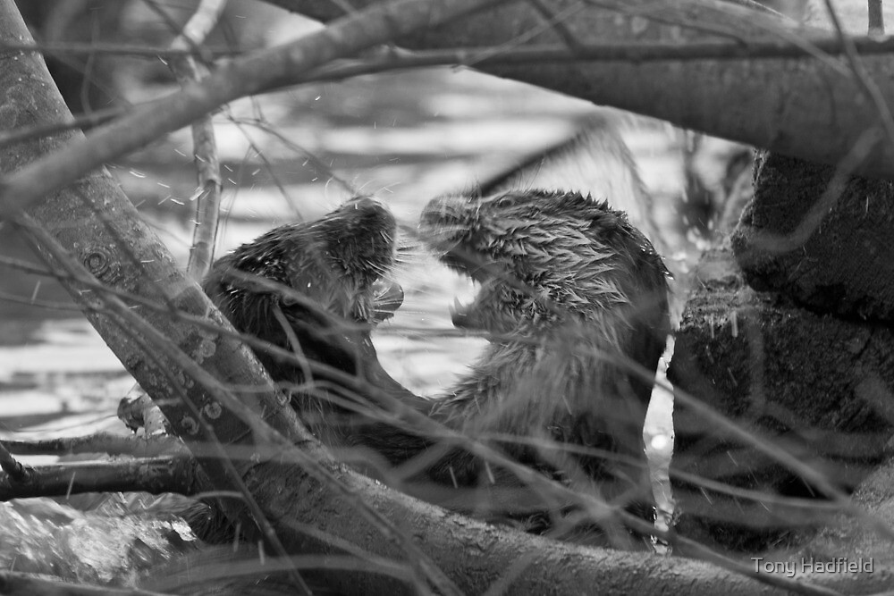 Young otters by Tony Hadfield