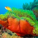 Anemone with Pink Anemone Fish by Henry Jager