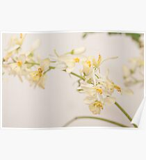 flowers of moringa plant isolated on white Poster