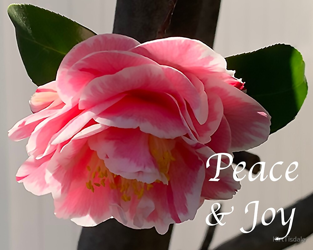 Peace And Joy Pink And White Camellia Bloom by KirtTisdale