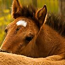 Choctaw Pony Foal 2 by Sue Ratcliffe