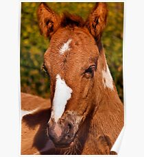 Choctaw Foal Poster