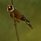 Goldfinch by Russell Couch