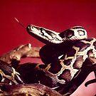 burmese python by Lolabud