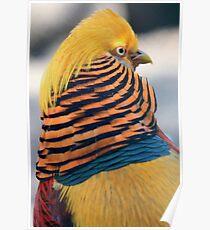 Golden Pheasant Poster