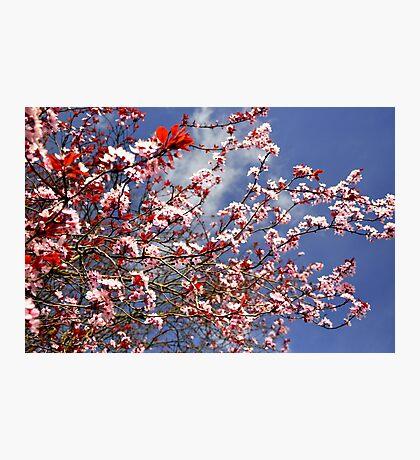 Cheery Blossom,  Photographic Print