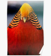 Golden Pheasant 2 Poster