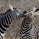 Zebra Dispute by Michael  Moss