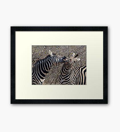 Zebra Dispute Framed Print