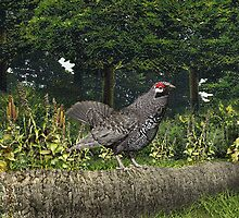 Spruce Grouse by Walter Colvin