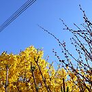 Spring is here - blossoms towards the blue sky by contradirony