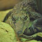 Croc 01 by Vincent Bayliss