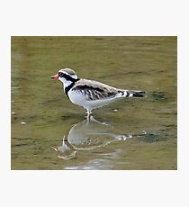 Black-Fronted Dotterel Photographic Print
