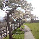 Cherry Blossom Walk by Hucksty