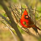 Red Cardinal Bliss by Trudy Wilkerson