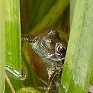Hiding Frog by Hucksty