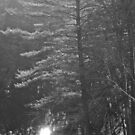 A Pine in The Dell. by Christopher Clark