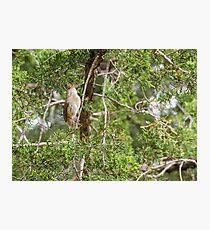 House wren sits on a cedar branch Photographic Print