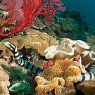 Banded Sea Krait off Port Moresby, Papua New Guinea by Erik Schlogl