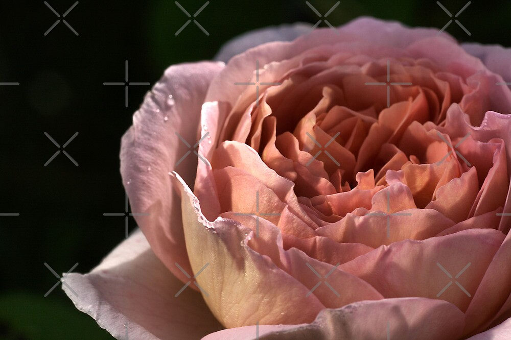 Rose In The Morning. by Joy Watson