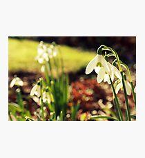 Snowdrops Photographic Print