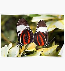 Mating - Cydno Longwing - Heliconius cydno Poster