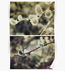 Spring - Catkins Poster