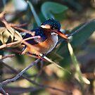 Malachite Kingfisher at Kotu bridge by Shaun Whiteman