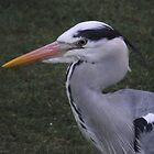 Heron at Langholm by shawn50